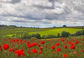 poppies in cotswolds