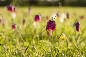 Fritillaries in the North Meadow Nature Reserve
