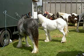 Gypsy Horses at their best 'bib and tucker'