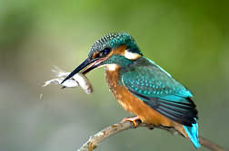 Kingfisher  at Slimbridge