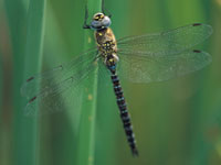 Dragonfly  at Slimbridge